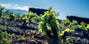 La agricultura ecológica en los viñedos